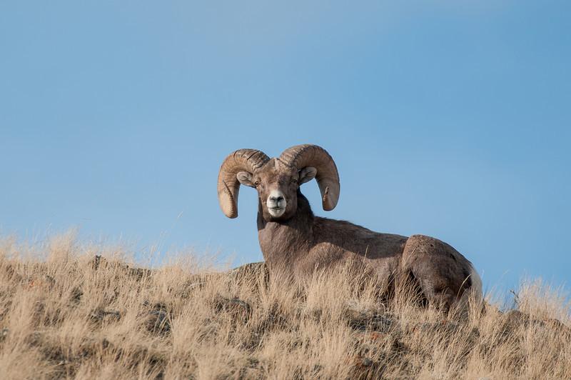 MBH-12000-92: Full Curl ram on mountain top