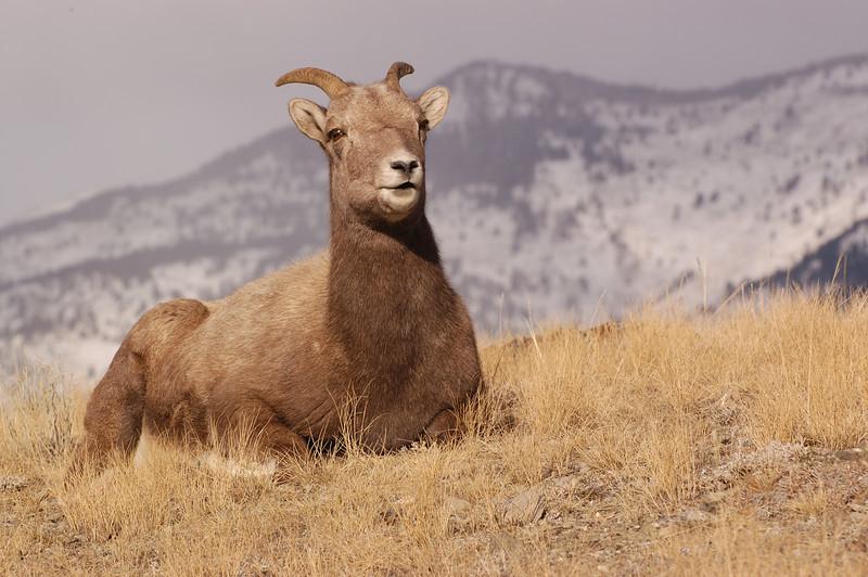 MBH-4306: Rocky Mountain Bighorn Ewe