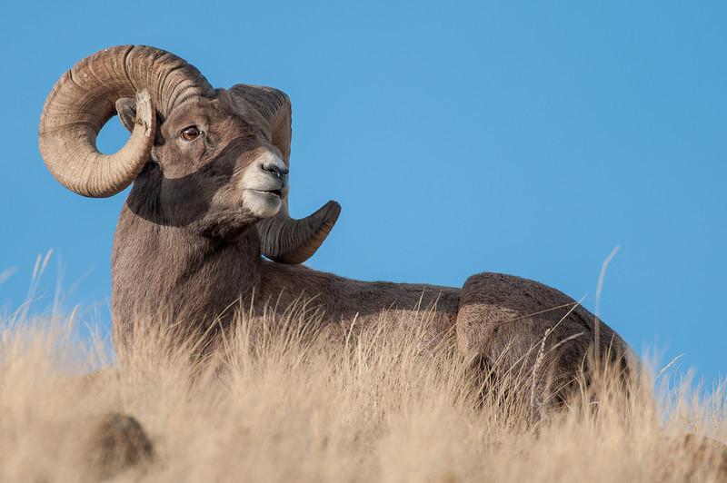 MBH-12000-114: Mountain top Bighorn Ram