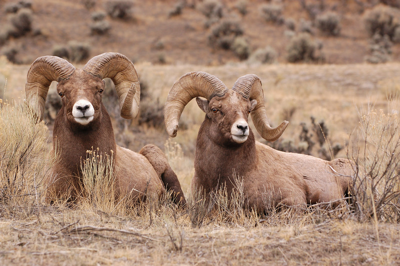 "MBH-4542:Full Curl Rams-After spending a considerable amount of time looking for Rams in the ""High Country"" with no luck I decided to hike back to the vehicle, there not 300 yards from the vehicle was a group of Bighorns, I located these two and with the fading light managed to take this image."