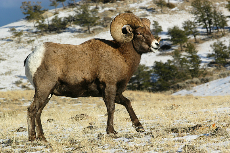 MBH-5274:Bighorn in November-Heading up to higher country.