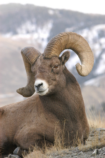 MBH-4064: Bighorn Ram portrait