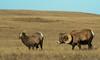 Bighorn rutting time