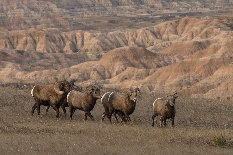 Bighorns of Badlands National Park