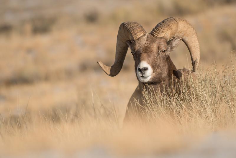 MBH-12-79: Bighorn Ram