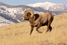 MBH-4392: Running Bighorn Ram