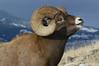 MBH-4242: Rocky Mountain Bighorn Ram portrait