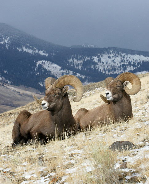 MBH-4202:Bighorn Pair-Late November with temperature around 0 F and intermittent snow fall, these Bighorn Rams decided to take a break.