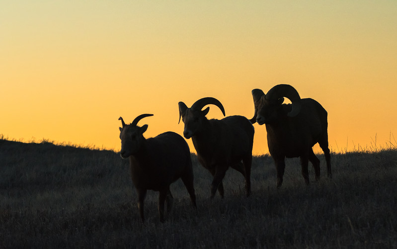Bighorns at twilight