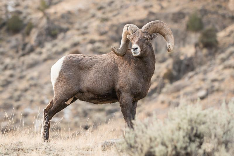 MBH-12-124: Bighorn Ram