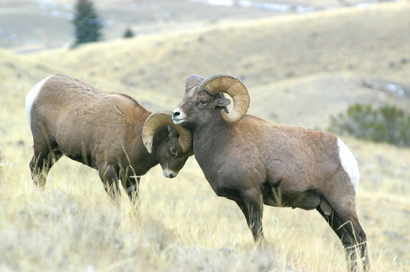 MBH-4004: Bighorns during late November