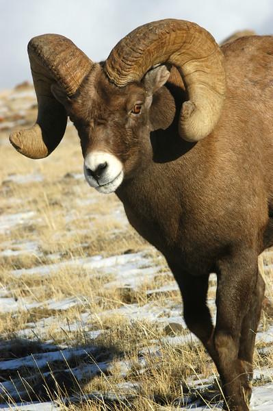 MBH-4286: Bighorn Ram in rutting pose