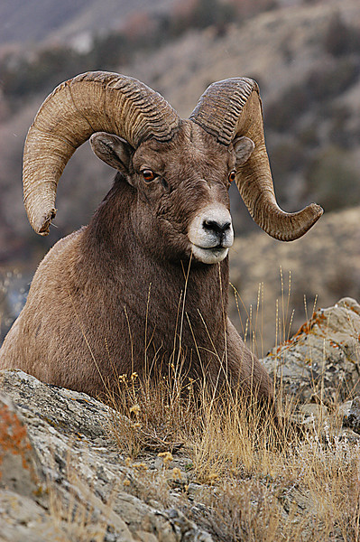 MBH-5013:Bighorn resting-I found this lone Ram along the Gardiner River in Montana, not sure why because it is the end of November and the rutting season was well under way.