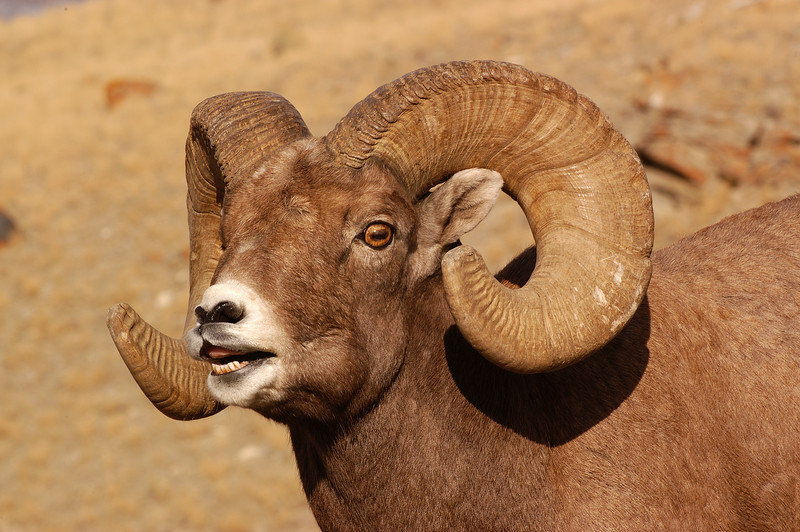 MBH-4343: Bighorn rutting behavior (Flehmen display)