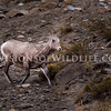 Rocky Mountain Sheep, Ewe