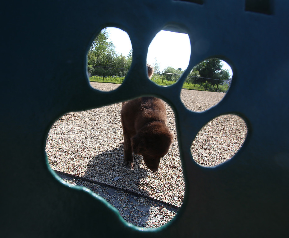 . Bruno, a 3-year-old Newfoundland, seen through the back of a bench at the Billerica Dog Park.  (SUN/Julia Malakie)