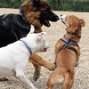 Saturday morning at the Billerica Dog Park. Playing together are Nala, a longhaired shepherd belonging to Anya Kennedy and her family of Billerica, Alpine, a pit bull mix belonging to Bruce and Melissa Cleaver of Billerica, and Yoshi, a beagle-corgi mix belonging to Will Daugherty of Billerica. (SUN/Julia Malakie)