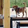 Yoshi, a beagle-corgi mix belonging to Will Daugherty of Billerica, gets a little height standing on a bench Saturday morning at the Billerica Dog Park. At left is Alpine, a pit mix belonging to Bruce & Melissa Cleaver of Billerica, (SUN/Julia Malakie)