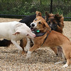 Saturday morning at the Billerica Dog Park. Playing together are Alpine, a pit bull mix belonging to Bruce and Melissa Cleaver of Billerica, Yoshi, a beagle-corgi mix belonging to Will Daugherty of Billerica, and Nala, a longhaired shepherd belonging to Anya Kennedy and her family of Billerica. (SUN/Julia Malakie)
