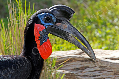 Abysinian Ground Hornbill 00040 A colorful male abysinian ground hornbill, by Peter J Mancus