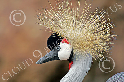 African Black Crowned Crane 00002 African black crowned crane, by Peter J Mancus