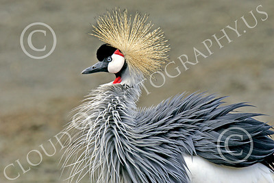 African Black Crowned Crane 00001 African black crowned crane with ruffled feathers, by Peter J Mancus
