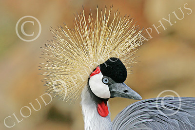 African Black Crowned Crane 00004 African black crowned crane, by Peter J Mancus