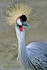 African Black Crowned Crane 00003 African black crowned crane, by Peter J Mancus