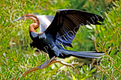 African Darter 00003 An adult african darter, by Peter J Mancus