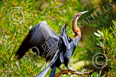 African Darter 00005 An adult african darter spreads its wings, by Peter J Mancus