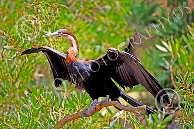 African Darter 00004 An adult african darter, by Peter J Mancus