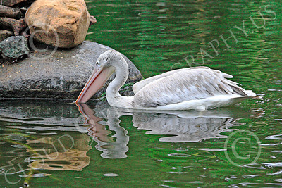 American White Pelican 00006 An American white pelican feeds while afloat, by Carol Ann Dentz