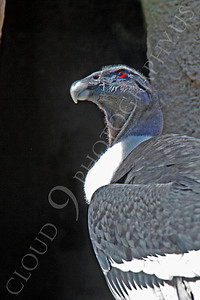 Andean Condor 00027 by Peter J Mancus