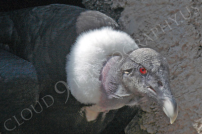 Andean Condor 00023 by Peter J Mancus