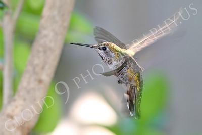 HUM 00008 An in-flight female Anna's hummingbird, by Peter J Mancus