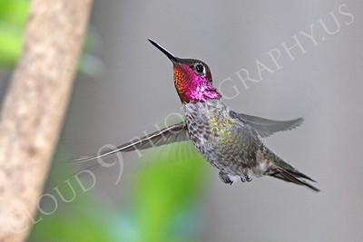 HUM 00027 An in-flight male Anna's hummingbird, by Peter J Mancus