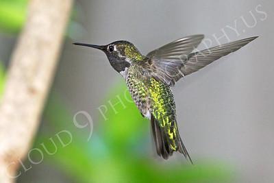 HUM 00009 An in-flight male Anna's hummingbird, by Peter J Mancus