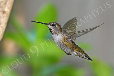 HUM 00026 An in-flight female Anna's hummingbird, by Peter J Mancus