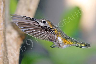 HUM 00023 An in-flight female Anna's hummingbird, by Peter J Mancus