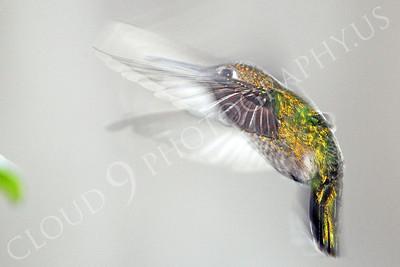 HUM 00002 An in-flight female Anna's hummingbird, by Peter J Mancus