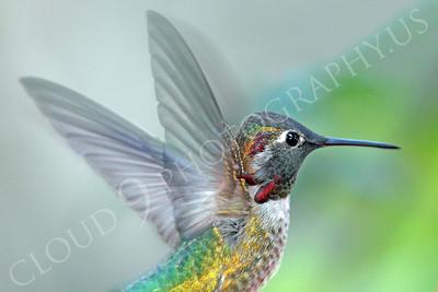 HUM 00020 An in-flight male Anna's hummingbird, by Peter J Mancus