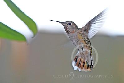 HUM 00021 An in-flight female Anna's hummingbird, by Peter J Mancus