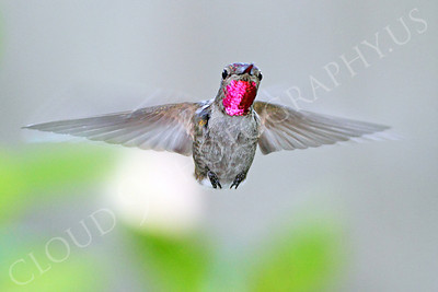 HUM 00016 An in-flight female Anna's hummingbird, by Peter J Mancus