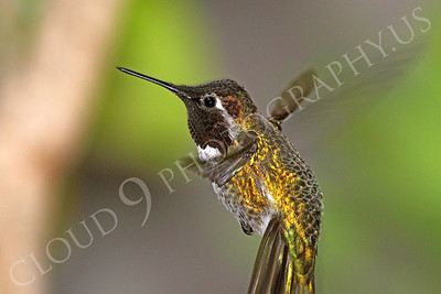 HUM 00028 An in-flight female Anna's hummingbird, by Peter J Mancus