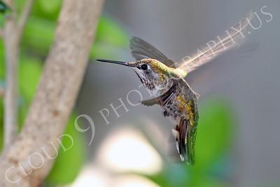 HUM 00008A An in-flight female Anna's hummingbird, by Peter J Mancus