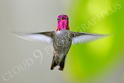 HUM 00006 An in-flight male Anna's hummingbird, by Peter J Mancus
