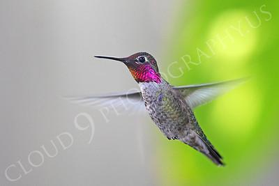 HUM 00012 An in-flight male Anna's hummingbird, by Peter J Mancus