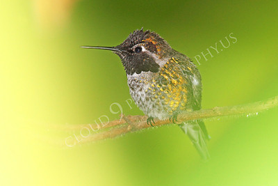 HUM 00007 A male Anna's hummingbird perched on a limb, by Peter J Mancus