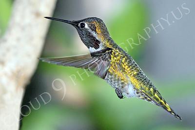 HUM 00003 An in-flight male Anna's hummingbird, by Peter J Mancus