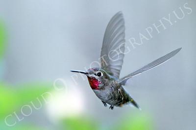 HUM 00004 An in-flight female Anna's hummingbird, by Peter J Mancus